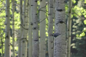 Picture of aspen trees near Maroon Bells and Aspen, CO.